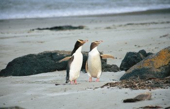 Penguins-(Yellow-Eyed)-on-Beach