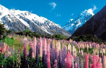 Mount-Cook-lupins