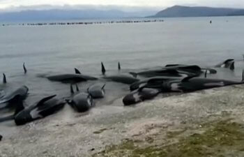 f_new_zealand_beached_whales_170210.nbcnews-ux-1080-600